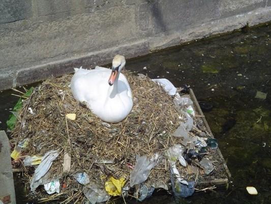 un oiseau couvrant ses œufs dans des déchets.
